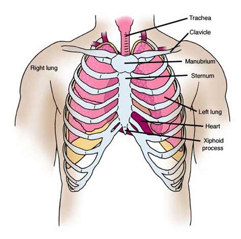 diagram of chest muscles chest anatomy diagram www uocodac