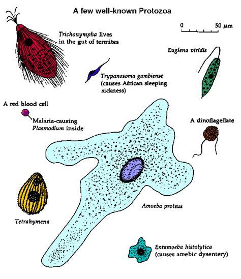 protist diagram taxonomy2009 p3 protista