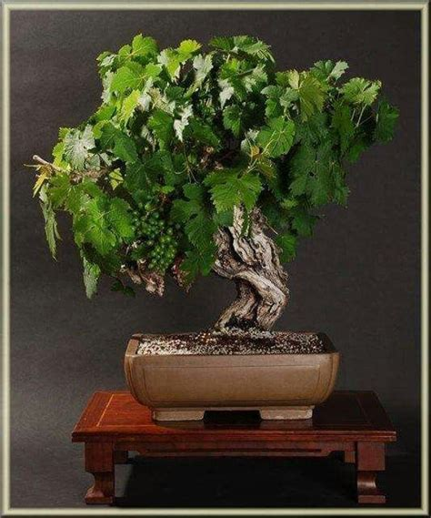 Cabernet Grapevine Bonsai It Or It by 17 Best Images About Bonsai Vid On Bonsai