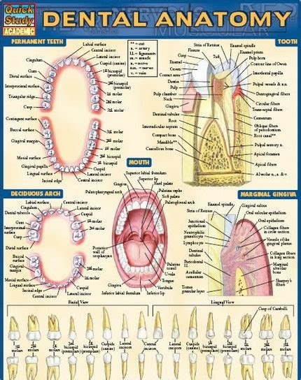 dental anatomy coloring book pdf can you a dental crown for mobile computer
