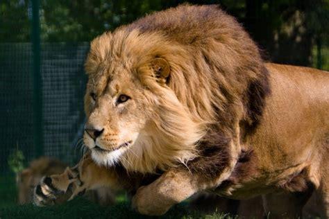 imagenes de leones en movimiento 3d le 243 n en movimiento 33630
