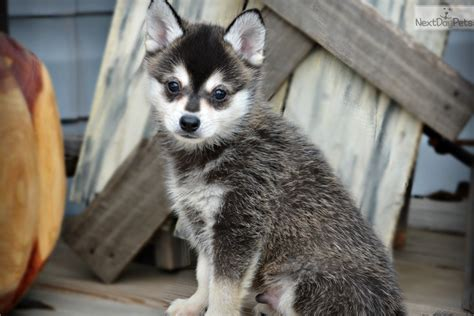 pomsky puppies for sale in mn pomeranian husky puppies for sale in mn breeds picture
