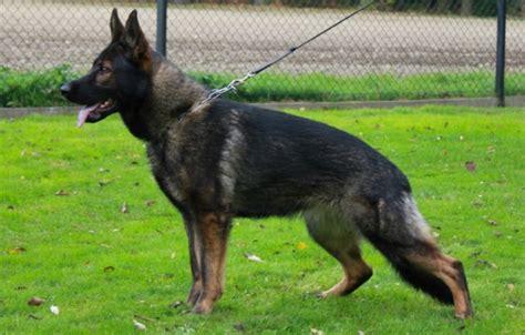 german shepherd puppies for sale in wv german shepherds for sale in west virginia breeds picture
