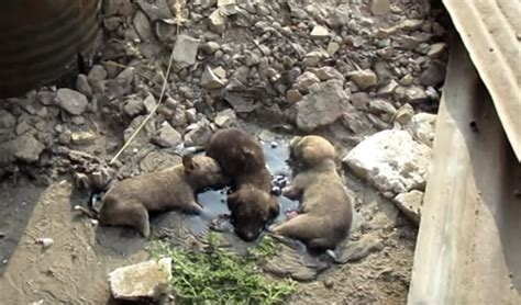 free puppies in rock three puppies were found in rock solid tar unable to move an inch