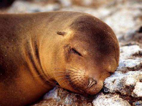 imagenes se animales fondos de foca durmiendo fondos de pantalla de foca