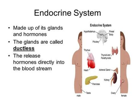 section 39 2 human endocrine glands section 39 2 human endocrine glands 28 images section