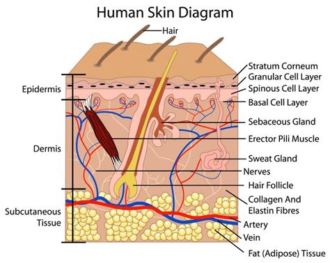diagram of a skin human skin diagram anatomy and physiology