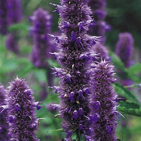 agastache seeds liquorice blue dobies
