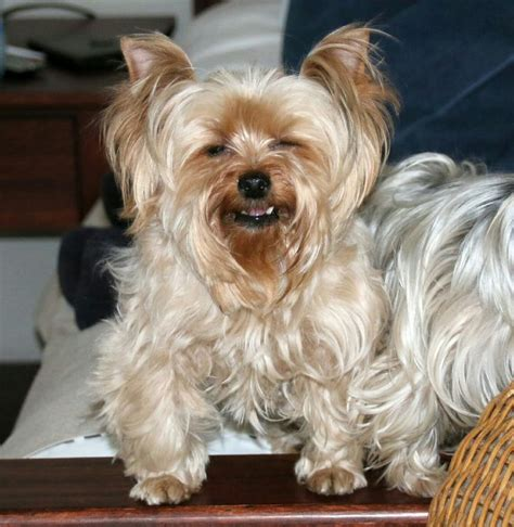 yorkie smiling 17 best images about yorkies on