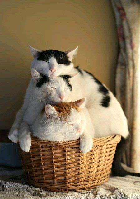 cat freaking out maybe in heat best 25 cats ideas on cats animals and animals