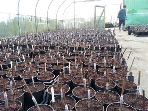 bench grafting apple trees fruit trees at beardsworths nursery and garden centre