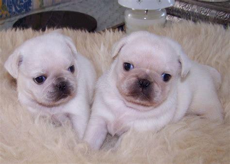 white baby pugs white baby pugs liskeard cornwall pets4homes