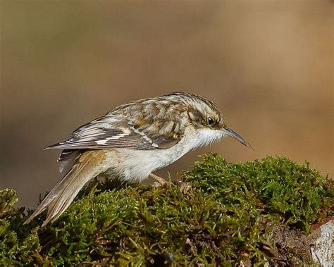 brown creeper birds pinterest