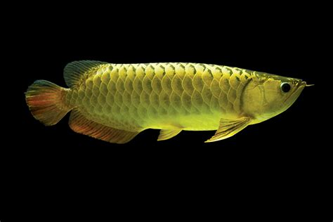 temporary for wan hu arowana division of qian hu corp types of asian arowana we supply