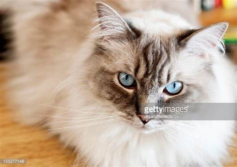 x ragdoll cat ragdoll cat stock photos and pictures getty images