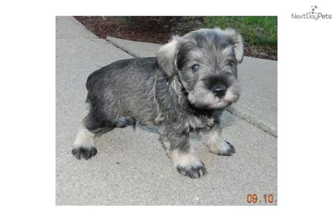 breeder indiana miniature schnauzer breeders in indiana breeds picture