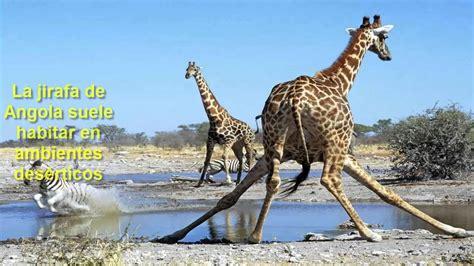 imagenes de jirafas salvajes animales bonitos jirafas youtube