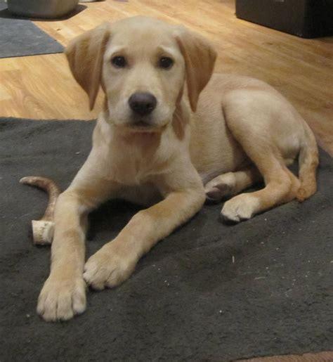 goldador puppies beautiful friendly intelligent goldador shrewsbury shropshire pets4homes