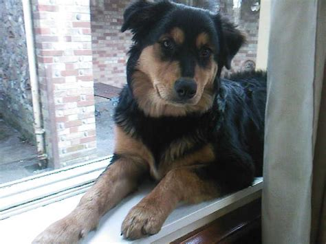 rottweiler mixed with husky rottweiler husky mix rottsky more breeds picture