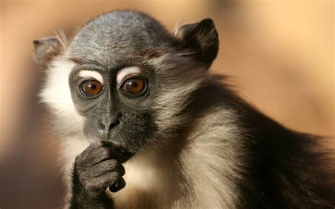 Monkey Wallpaper | beautiful wallpapers monkey hd wallpapers
