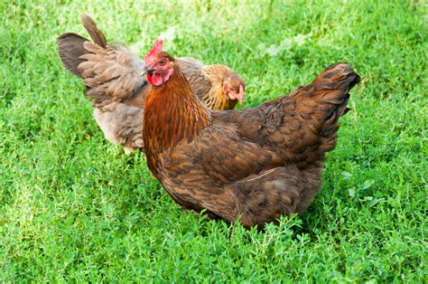 raising backyard chickens raising backyard chickens what you need to know
