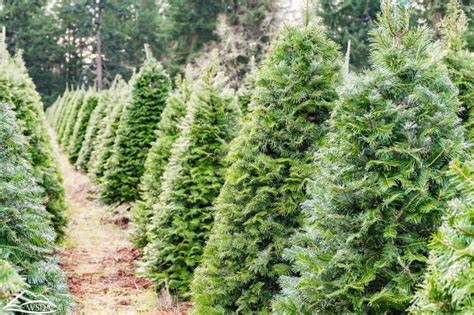best u cut tree farms near seattle