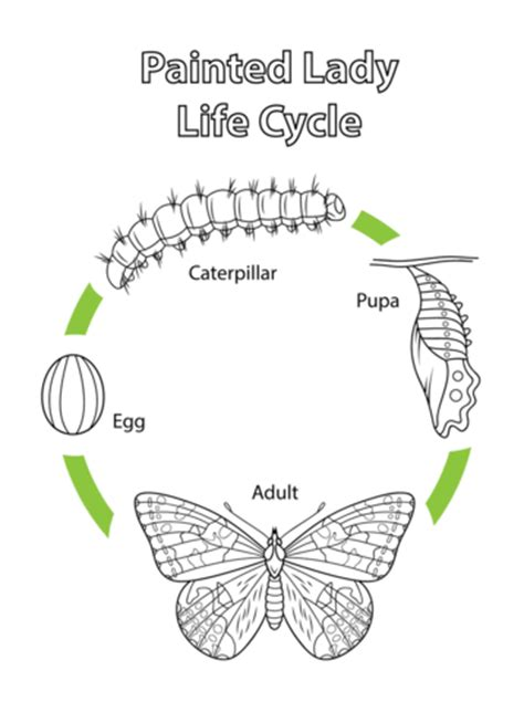 coloring page of painted lady butterfly life cycle of a painted lady butterfly coloring page