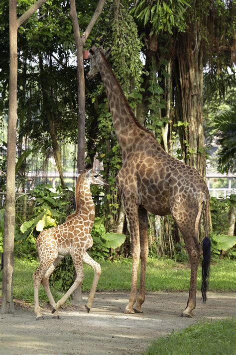 singapore zoo new year 2015 check out some of the new additions to wildlife reserves