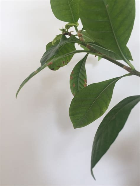 blueberry gardenia leaves turing brown  yellow patches