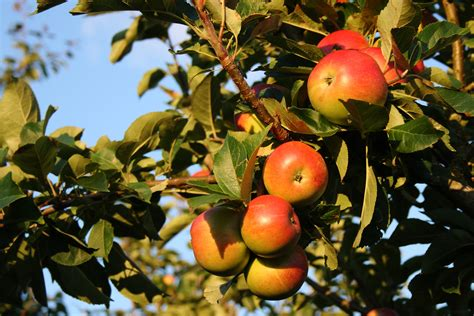 apple tree wallpapers images  pictures backgrounds
