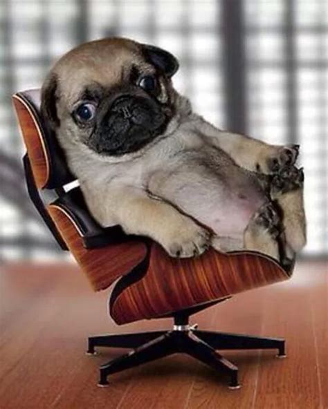 pug in chair this pug pup is chillin like a trashgator enjoy it rate it it