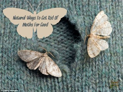 Getting Rid Of Pantry Moths Naturally by Ways To Get Rid Of Moths For By Hybrid Rasta