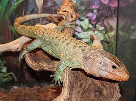 The Caiman Lizard: your very own faux crocodile