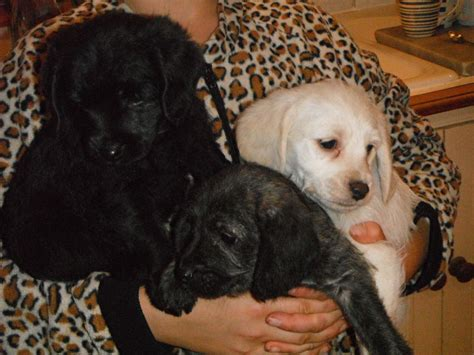 poogle puppies for sale poogle puppies tunbridge kent pets4homes