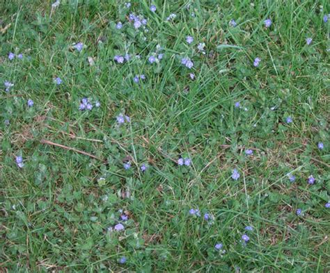 germander speedwell identify kill this lawn weed lawn weeds