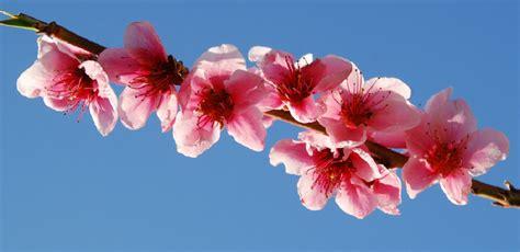 fior di pesco gocce di note fiori rosa fiori di pesco lucio battisti