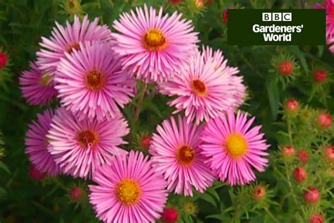 how to divide asters video guide gardenersworld com