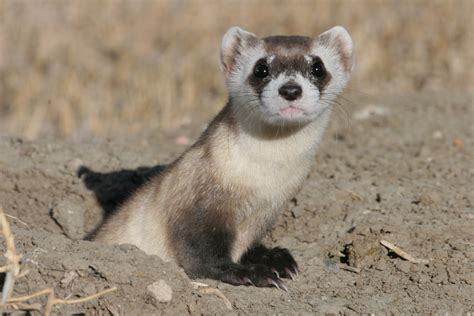 dat freret black footed ferret
