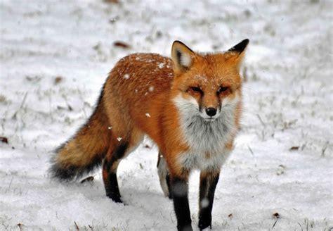google images fox red fox google search fox pinterest inspiration