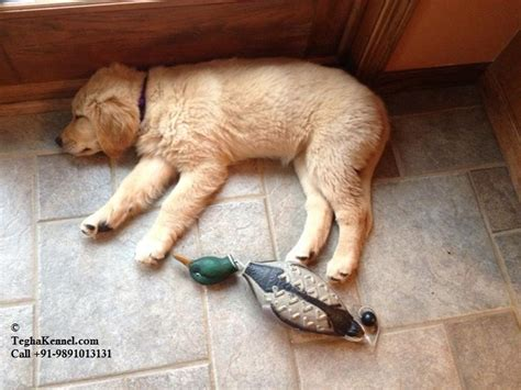 golden retriever exercise requirements golden retriever puppy for sale puppies for sale dogs for sale breeders