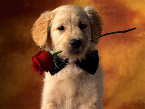 valentines puppy puppy valentines day