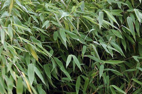 Bambus Krankheiten by Bambus Pflege 187 Alles Worauf Sie Achten M 252 Ssen
