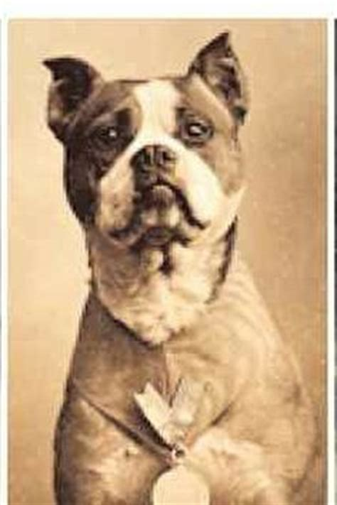 Sergeant Stubby Buzzfeed 1000 Images About Sergeant Stubby On Sergeant Stubby War Dogs And War