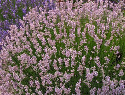 Lavender Pink the lavender garden catalogue