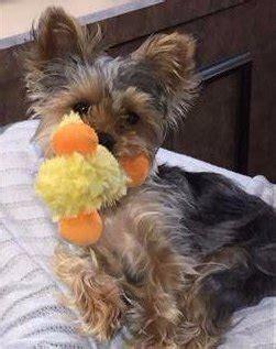 yorkie stroke symptoms terrier summer care