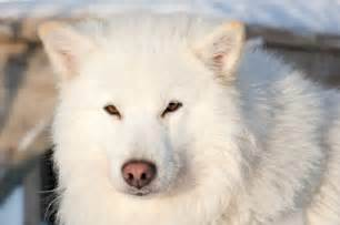 Polar Bear Rugs For Sale Samoyed Puppy Information Behavior Training And More