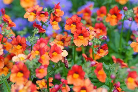 fiori per giardino nemesia graziosi fiori ideali per aiuole e vasi