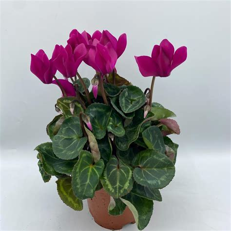 cyclamen patio xxl cm pot purple bedding polhill