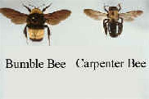 Are Bees Attracted To Light by Bumble Bee How To Kill Pest Bumble Bees