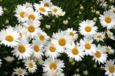 daisy facts daisy facts